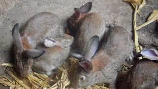 Миксоматоз у кроликов, и как он проявляется
