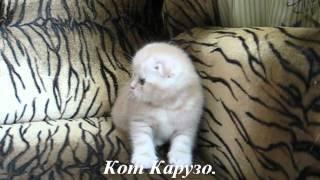 Продаются шотландские котята.mpg