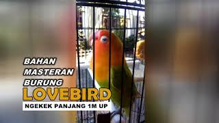 Download lagu PANCINGAN LOVEBIRD!!! Ngekek Panjang 1 menit UP