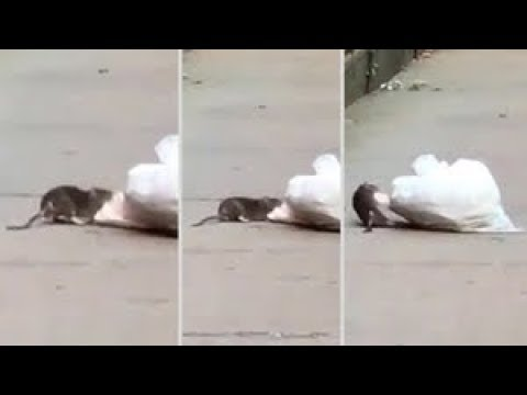 New York City targets RATS at NYCHA complexes