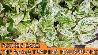 Pothos Care: The Easiest Trailing Houseplant / Joy Us Garden