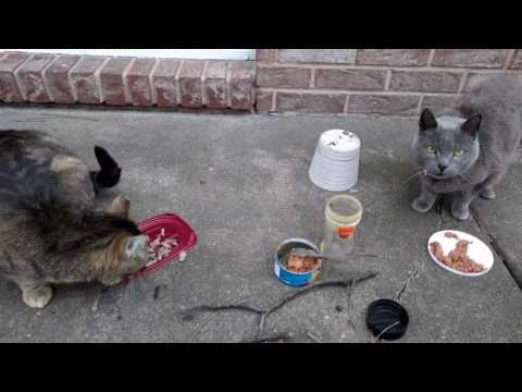 Feeding One Stray And One Very Hungry House Cat - Two Kitties For The Price Of One!