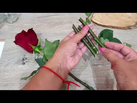 Как укоренить розы из букета: АЛОЭ ВЕРА - секрет успеха!
