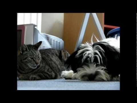 Maddie the Tibetan terrier Loves Cats