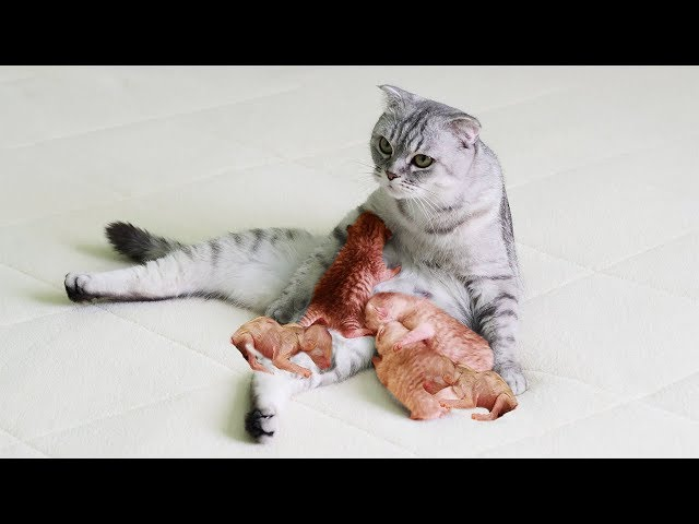 Baby Scottish Fold Cats Giving Birth In The Love Of Mother And Host | Story Giving Birth