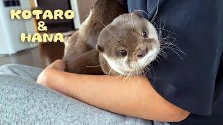 モフりたい病の父ちゃんに捕まったカワウソ達 It''s Cuddle Time with Otters