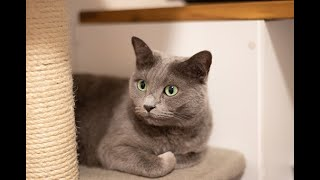 Russian Blue Cat | Cute And Adorable Russian Blue | Kittens | Compilation