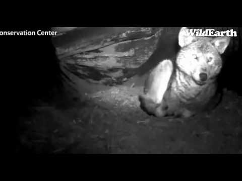 CapturedMovie_c 2-28-13  RED  WOLF IN  THE  DEN-2