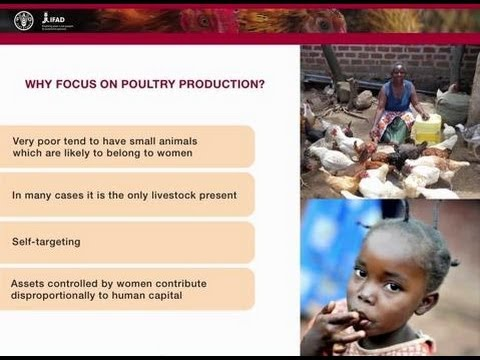 Poultry as a tool for poverty alleviation, food security, and income generation