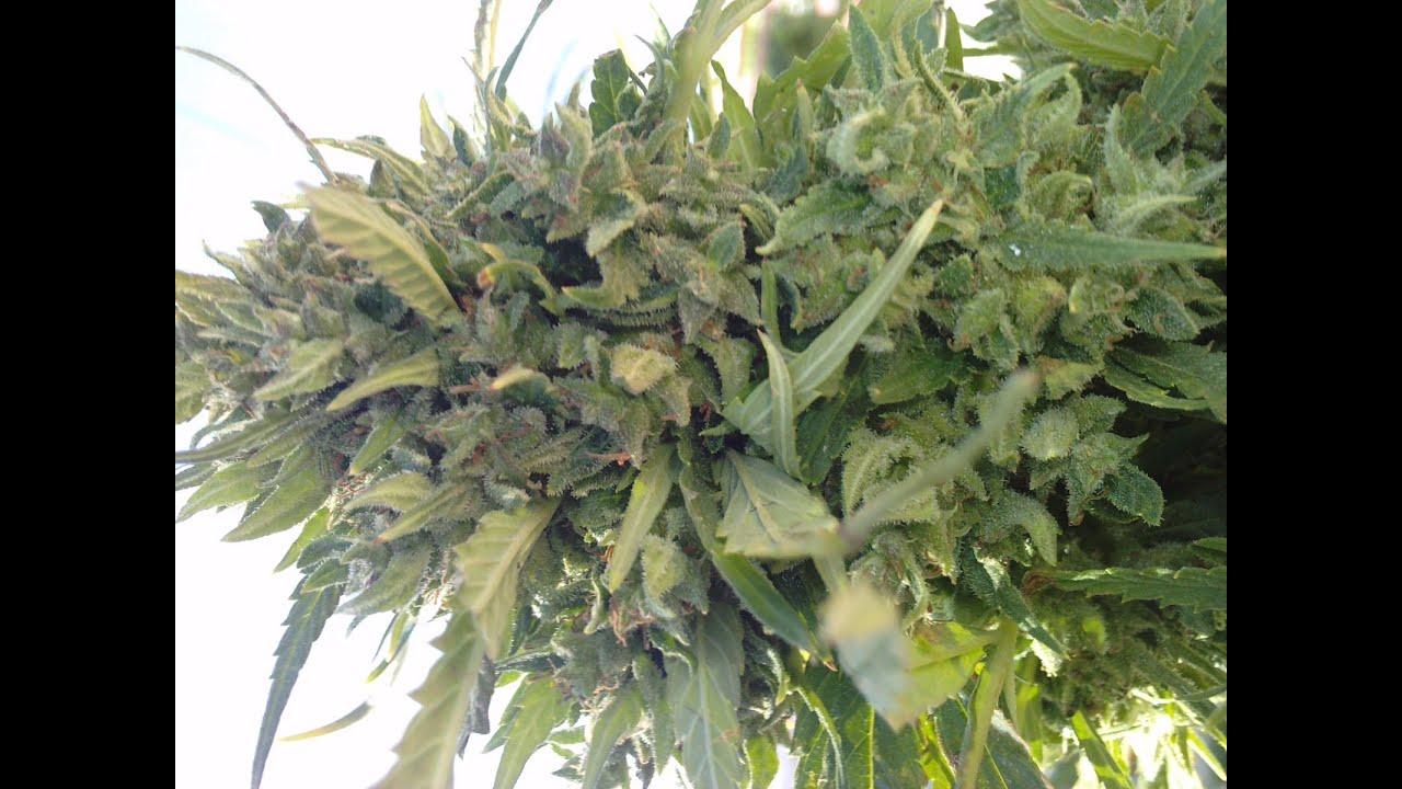 C mo y cu ndo sembrar marihuana en maceta o tierra - Plantar en maceta ...