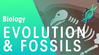 Fossils and Evidence for Evolution | Biology for All | FuseSchool