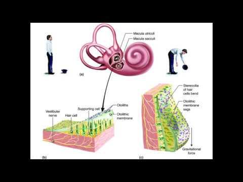 Как работает вестибулярный аппарат человека