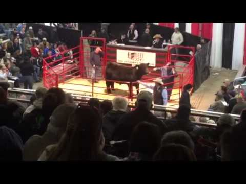High Selling Bull At Ohio Beef Expo @ $75,000