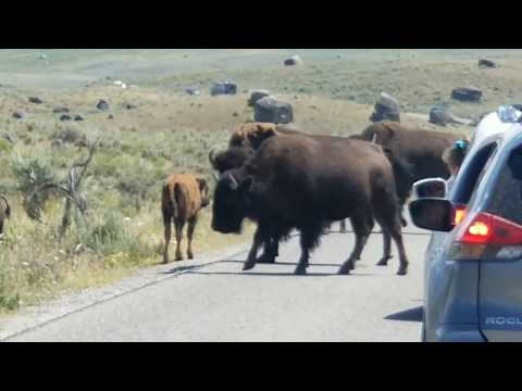Bison and deer and bear, OH MY!