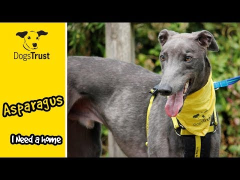 asparagus-is-a-very-affectionate-greyhound-&-loves-his-toys!-|-dogs-trust-bridgend