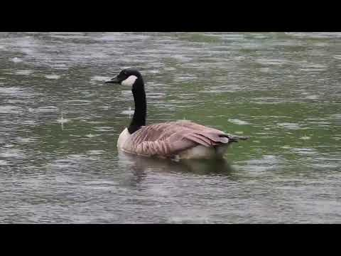 Canada Goose Facts  Interesting Facts About Canada Goose  Facts About Canada Goose