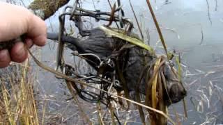 Охота на ондатру капканами КП 120 видео