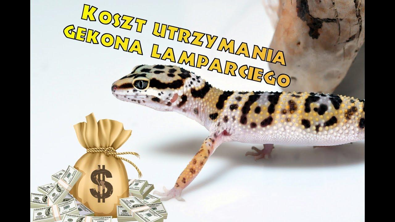 Poważnie Ile kosztuje gekon lamparci? - YouTube MQ86