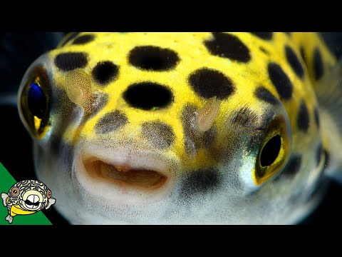 Puffer Fish! Lets Talk About Puffers! Pufferfish - Live Stream