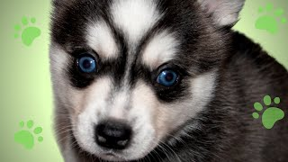 Alaskan Klee Kai: 5 Week Old Puppies