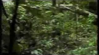 Chimpances cazando monos Subtitulado