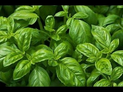 6 Herbs & Plants that repel insects!
