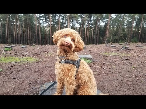 Rex the Miniature Poodle - 4 Weeks Residential Dog Training