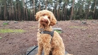 Rex the Miniature Poodle  4 Weeks Residential Dog Training