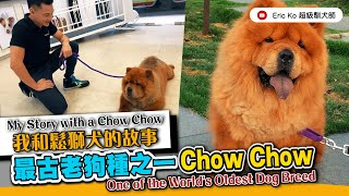 我和鬆獅犬的故事 《 最古老犬種之一CHOW CHOW  》My Story with a Chow Chow. One of the world's oldest dog's breed.