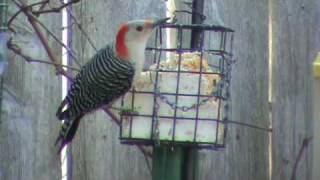 Red-bellied Woodpecker Visits the Suet Feeder