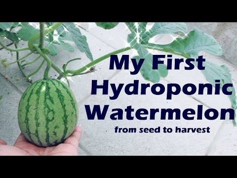 My First Hydroponic Watermelon From Seed To Harvest