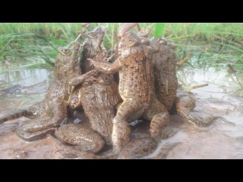Thumbnail: Amazing Frog Trap-How to catch big frogs-crazy frog-catching frog-khmer digging frog-Chasing frog