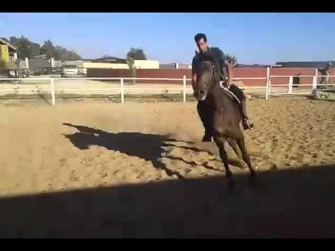 ELEVERO, Galopp, AKTION GREMLIN, junger Falbe, nett angeritten, Verkaufspferd, via Finca Barroco