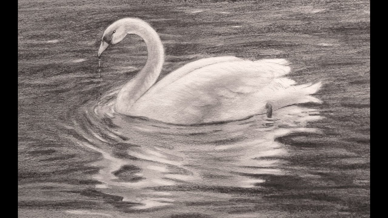 Dibujando Animales Cómo Dibujar Un Cisne Arte Divierte