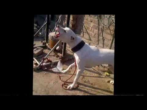 hunting dog,Bully,Labrador,Gulterrior and Wolf crossed breed Named as  shikra wmv