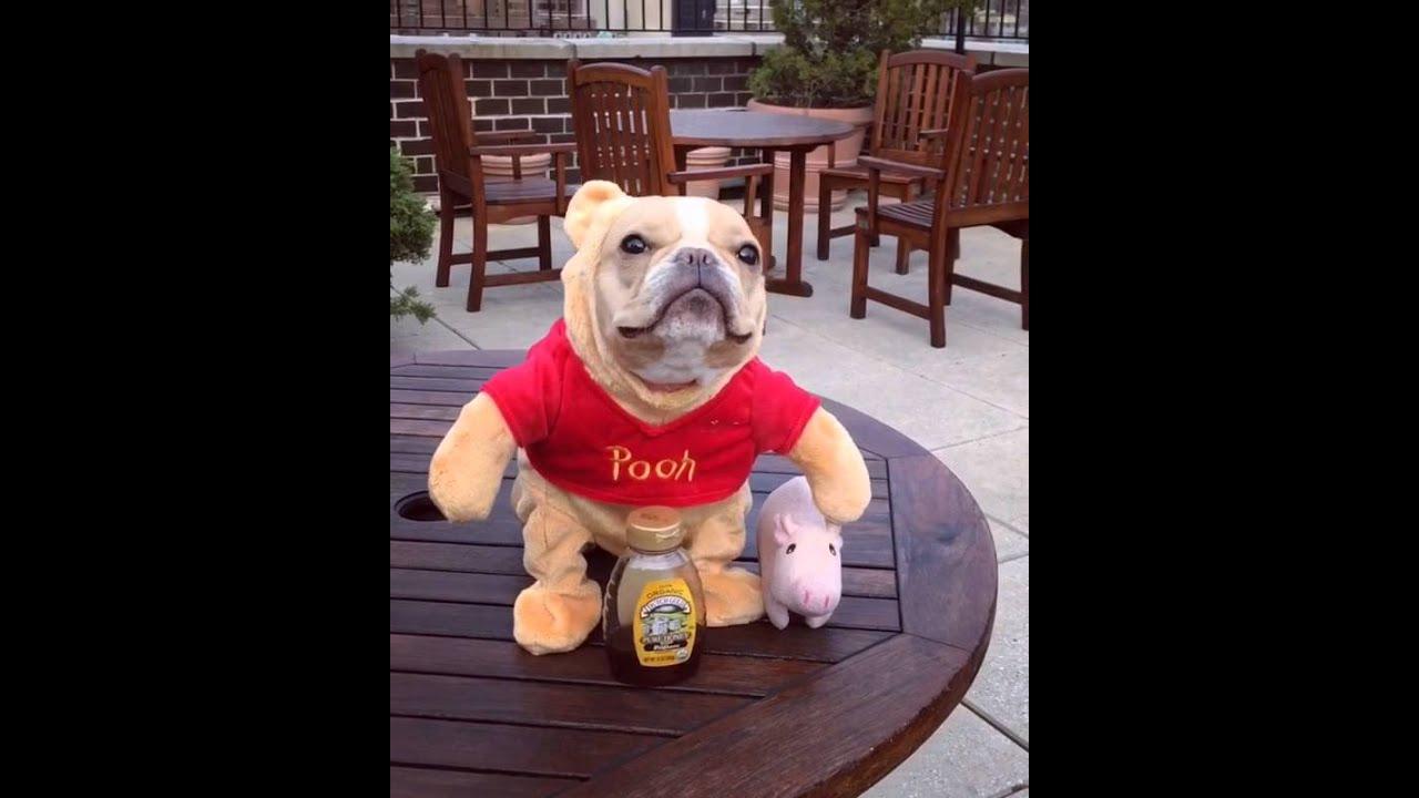 Winnie The Pooh As A French Bulldog - YouTube