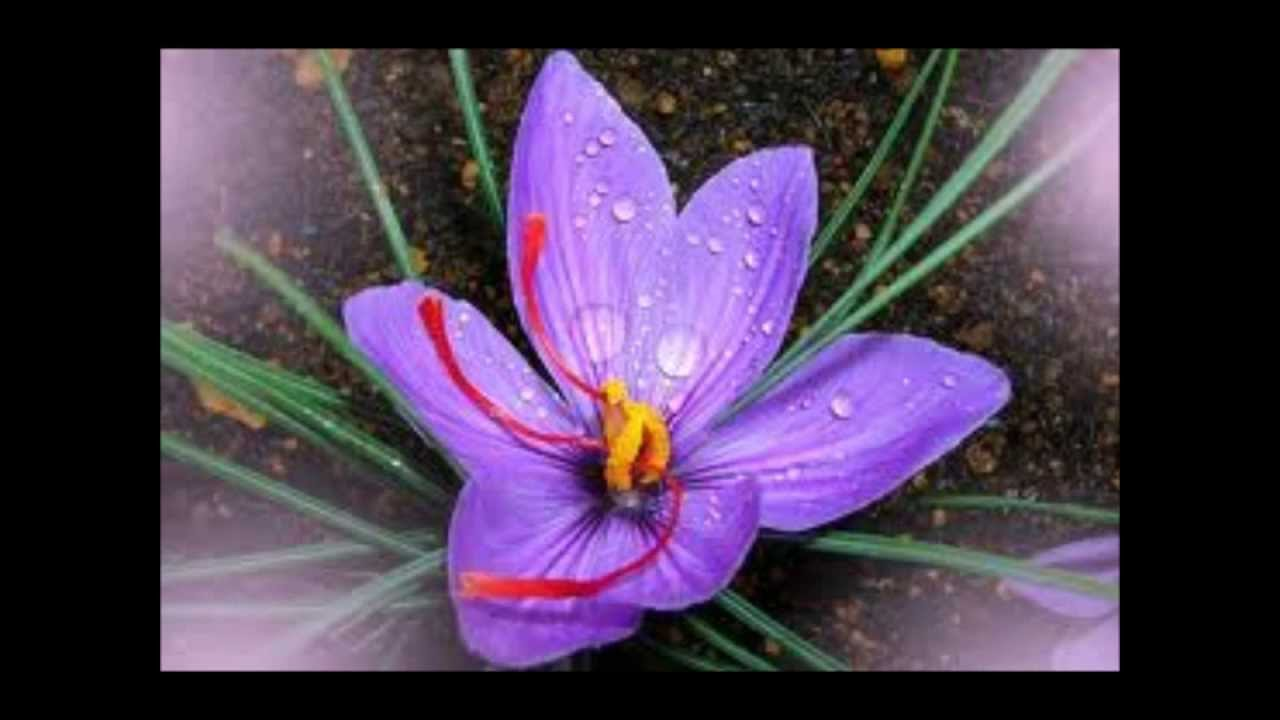 Saffron Extract For Weight Loss And Appetitie Control Youtube