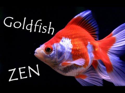Goldfish ZEN