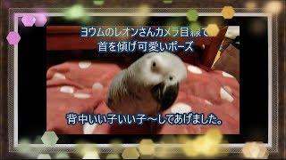 ヨウムのレオンさんカメラ目線首を傾げ可愛いポーズ背中いい子いい子~してあげましたAfrican Gray Parrot thumbnail
