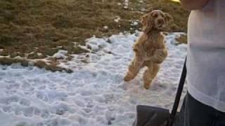 English Cocker Spaniel Zoe Clearing March Snow Colorado