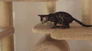 Игры бенгальских котят питомника Zoo Cat RU .
