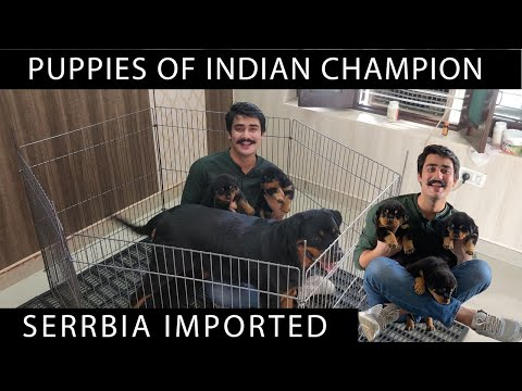 First time on YouTube Grand Champion Rottweiler{ Enero Se Ungo Rott } Puppies| Shurveer Kennel