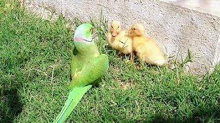Parrot Greet Ducklings thumbnail