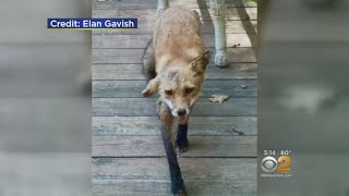 Exclusive: Westchester Residents, Pets Attacked By Rabid Fox