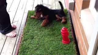 Harry the Welsh Terrier: Porch Potty Training