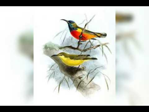 Suara Pikat Burung 6 ( Spesial Sirtu/Cipoh)