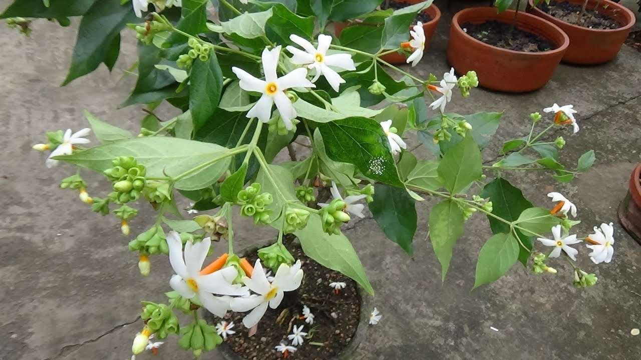 How To Make Bonsai Parijatshiuli Night Jasmine Plant With