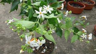 How to make bonsai Parijat/Shiuli (Night Jasmine) plant (with English subtitle)