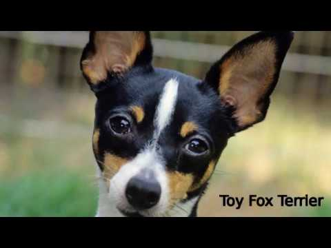 Toy Fox Terrier - small dog breed