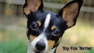 Toy Fox Terrier  small dog breed
